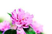 Lila hibiskus — Stockfoto