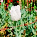 opium kwiat — Zdjęcie stockowe