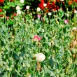 Opium field flower — Stock Photo