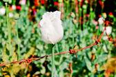 Flor de opio — Foto de Stock