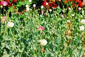 アヘンの野の花 — ストック写真