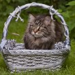 Cat in the basket. — Stock Photo
