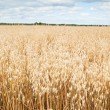 Royalty-Free Stock Photo: Field of a ripening oats
