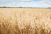 Field of a ripening oats — Foto de Stock