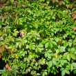 Stock Photo: Leaves of virginicreeper (Parthenocissus quinquefolia), closeu