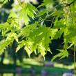 The leaves of the Japanese maple, close-up — Stock Photo