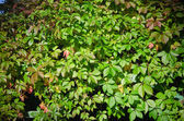 Leaves of virginia creeper (Parthenocissus quinquefolia), closeu — Stock Photo