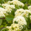 Blossoming decorative bush, close up — Stock Photo