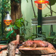 Big iguana lizard in terrarium — Stock Photo #13769046