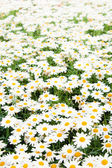 Background from beautiful white camomiles — Stockfoto