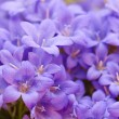 Campanula blue a close up — Stock Photo #14723713