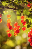 The berries of a red currant shined by solar beams — Stock Photo