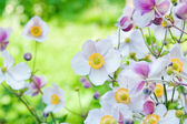 Anemone japonica flowers, lit by sunlight in the garden. — Stock Photo
