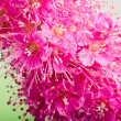 Beautiful pink flower, close-up — Stock Photo