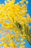 Spring bouquet with a branch of a blossoming mimosa — Stock Photo