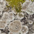Close up a lichen on a stone, a background — Stock Photo #28640121