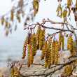 Catkins on an Alder Tree in Spring, a close up — Stock Photo