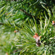 Pine spring blossoming bud, close-up — Stock Photo