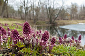 Blooming butterbur. Spring landscape near the pond — Stock Photo