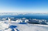The white polar wolf on an ice floe looks on swans — Stock Photo