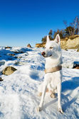 White Husky amid the winter coast of the Sea — Zdjęcie stockowe