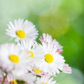 Beautiful daisy flowers, close-up. Summer background — Stock Photo