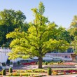 Oak of times of Great Peter in park Kadriorg. Tallinn — Stock Photo