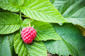Berries of a raspberry on leaves, a close up — Stock Photo