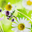 Summer backgrounds. Beautiful gentle Chamomile, close-up — Stock Photo
