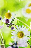 Summer backgrounds. Beautiful gentle Chamomile, close-up — Stock Photo