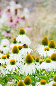 Flowers medicinal herb echinacea purpurea or coneflower, close-u — Stock Photo