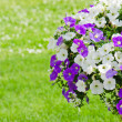 Beautiful white and purple petunia flowers close up — Stock Photo