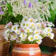 Beautiful daisy flowers, close-up. Summer background — Stock Photo