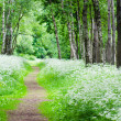 Footpath in a birchwood June day. Summer background — Stock Photo #34827091