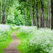 Footpath in a birchwood June day. Summer background — Stock Photo