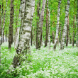 Tree trunks in a birch forest and wild flowers, close-up — Stock Photo