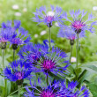 Stock Photo: Beautiful cornflowers in meadow, close-up