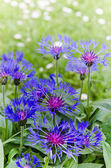 Beautiful cornflowers in the meadow, close-up — Stockfoto