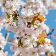 Oriental cherry blossoming in spring park — Stock Photo