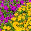 Background of multicolored flowers in summer   — Stock Photo