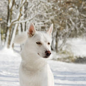 Portrait of an husky dog in Winter, Close-up — Stock Photo