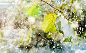 Snow falls on the leaves of the trees lit by sunlight — Stock Photo