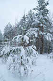 Winter landscape in the forest snowbound — Stock Photo