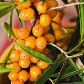 Buckthorn branch with berries, close-up — 图库照片