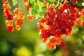 Illuminated by sunlight redcurrant berries — Stock Photo