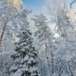 Stock Photo: Winter snow covered trees against the blue sky