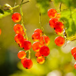 Illuminated by sunlight redcurrant berries — Stock Photo