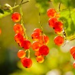 Illuminated by sunlight redcurrant berries — Stock Photo #40135627