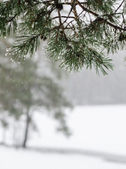 Branch of a pine with drops of water. Winter snow day — Stock Photo