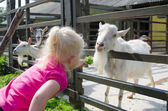 The little girl feeds goats on a farm — Stock Photo